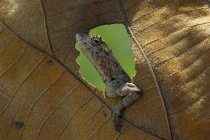 Lagarto engraçado close-up, olhando pelo buraco em uma folha — Fotografia de Stock