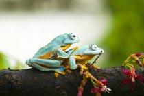 Two javan gliding tree frogs sitting on branch — Stock Photo