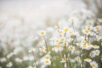 Vista do close-up de flores lindas margaridas contra fundo desfocado — Fotografia de Stock