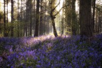 Großbritannien, England, West Midlands, Warwickshire, Stratford Sunrise In Bluebell Woods — Stockfoto