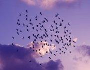 Flock of wild birds on violet sky at sunset — Stockfoto