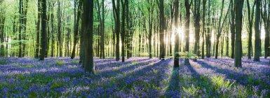 Malerischer Blick auf den Sonnenaufgang im Wald mit Blauglocken, uk, hampshire, micheldever — Stockfoto