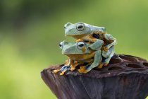 Tree frog sitting on top of another tree frog, blurred green background — Stock Photo
