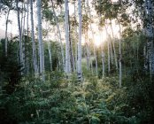 Scenic view of Forest at sunset, Fork canyon, Utah, USA — Stock Photo