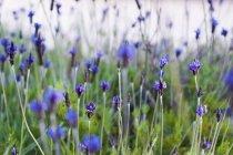 Закри Лаванда росте в полі проти розмитість фону — стокове фото
