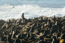Big group of funny seals near seaside in Namibia — Stock Photo