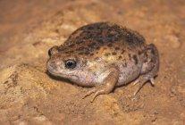 Gros plan de grenouille Uperoleia Mole dans la saleté — Photo de stock