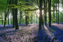 Scenic view of bluebells in the countryside, Micheldever Woods, Hampshire, England, UK — Stock Photo