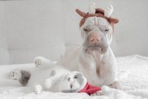 Blanc de Shar-Pei chinois chiens et chats en costumes de Noël — Photo de stock