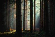 Sunlight through trees in Aargau forest, Switzerland — Stock Photo