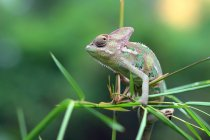 Close-up view of Chameleon sitting on green branch, Indonesia — Stock Photo