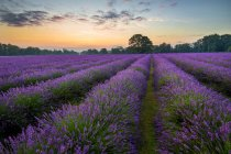 Scenic view of Lavender field at sunrise, UK, England, Surrey — Stock Photo