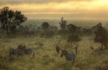 Malerische Aussicht auf Misty Morning mit Zebras und gnus, Krüger Nationalpark, Südafrika — Stockfoto
