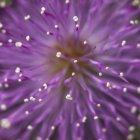 Gros plan des étamines de fleurs pourpres fraîches — Photo de stock
