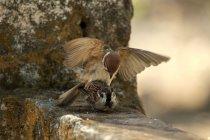 Закри перегляд двох птахів спаровування, Jember, Індонезія — стокове фото