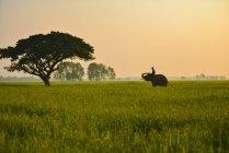 Mahout homem montando elefante ao nascer do sol na província de Surin, Tailândia — Fotografia de Stock