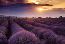Scenic view of sunrise over lavender flower field — Stock Photo