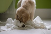 Golden retriever Puppy dog playing with toilet roll in bathroom — Stock Photo