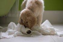 Cachorrinho retriever dourado, jogando com rolo de papel higiénico na casa de banho — Fotografia de Stock