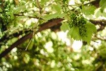 Raisins verts frais suspendu à la branche contre l'arrière-plan flou — Photo de stock
