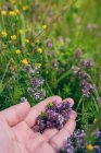Cropped image of female hand picking lavender flowers — Stock Photo