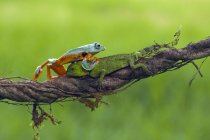 Frog crawling over a lizard on branch, blurred green background — Stock Photo