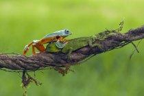 Sapo, rastejando sobre um lagarto na filial, turva fundo verde — Fotografia de Stock