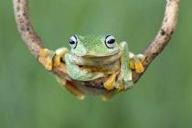 Джаван планеризма дерево Лягушка сидит на ветке, Индонезия — стоковое фото