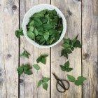 Земля старший или Сныть обыкновенная зеленые листья и ножницы на деревянный стол — стоковое фото