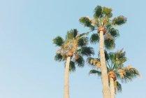 Niedrigen Winkel von Palmen gegen blauen Himmel — Stockfoto