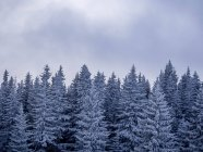 Scenic view of Snow covered pine trees — Stock Photo