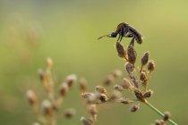 Abeille bossu sur une plante contre l'arrière-plan flou — Photo de stock