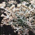 Nahaufnahme der trockenen Küste Pflanze wächst — Stockfoto