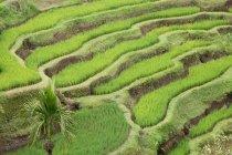 Vista elevada de Rice Terrace, Bali, Indonesia - foto de stock