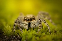 Close-up of jumping spider in grass looking at camera — Stockfoto