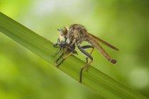 Moscardo atacando kissing bug contra fundo desfocado — Fotografia de Stock