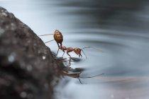 Nahaufnahme von Ameisentrinkwasser vor verschwommenem Hintergrund — Stockfoto