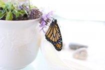 Monarch-Schmetterling sitzt auf Topfpflanzen Blume — Stockfoto