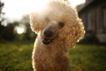 Porträt eines entzückenden Pudel Hund lächelnd im freien — Stockfoto