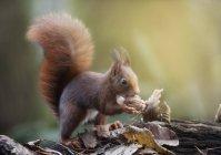 Милий цікаво Бельчонок їдять гайка проти розмитість фону — стокове фото