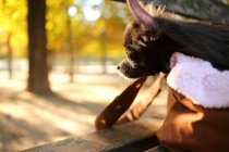 Retrato de cachorro chihuahua no saco no parque — Fotografia de Stock