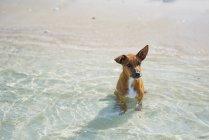 Милая маленькая коричневая собака, сидящая в морской воде — стоковое фото