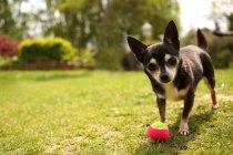 Милый очаровательный чихуахуа играть с мячом — стоковое фото
