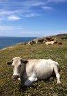 Мальовничий вид на корів, лежав у поле квітів, Tarifa, Кадіс, Андалусия, Іспанія — стокове фото