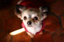 Gros plan de Chihuahua Dog en pull rouge levant les yeux — Photo de stock