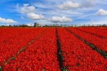Tulpenreihen, die auf einem Feld wachsen, Niederlande — Stockfoto
