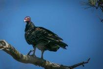 Турция гриф (Cathartes Аура) сидел на ветке против голубого неба — стоковое фото