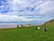 Malerische Aussicht von Ziegen auf Brean Down, Somerset, Großbritannien — Stockfoto