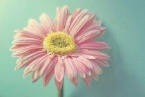 Flor gerbera rosa sobre fundo azul — Fotografia de Stock