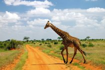 Quênia, Tsavo East, girafa andando pela estrada de terra em savannah — Fotografia de Stock